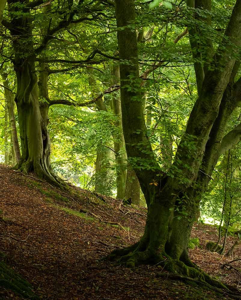 Beeches in Fishpond Wood - Fishpond Wood, Bewerley, Nidderdale