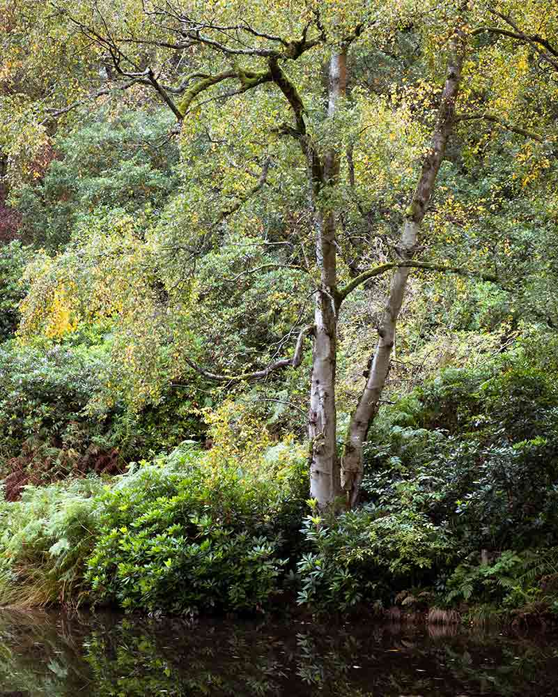 Birch by pond Fishpond Wood - Fishpond Wood, Bewerley, Nidderdale