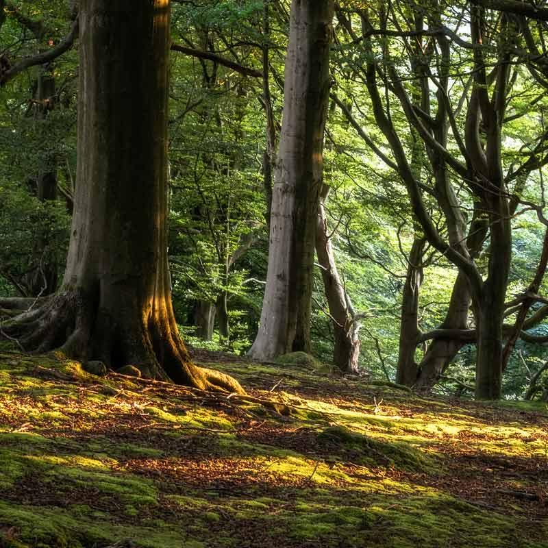 Morning light in Fishpond Wood - Fishpond Wood, Bewerley, Nidderdale