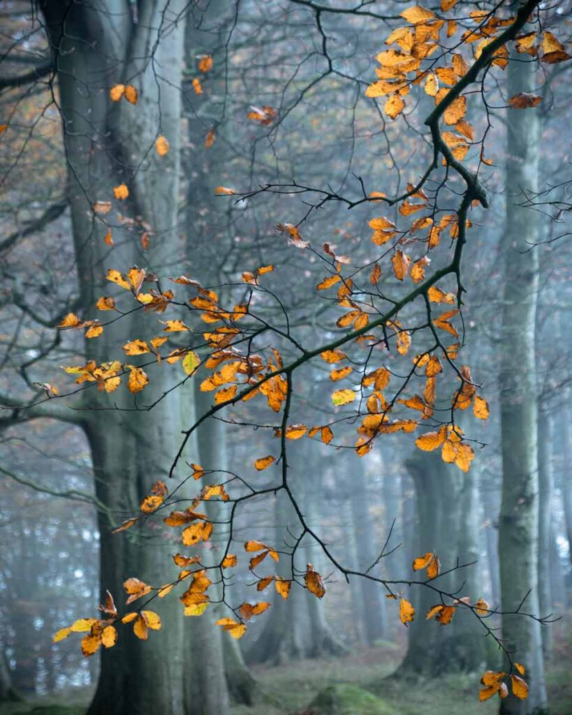 Autumn Beech Leaves at Fishpond Wood, Beweley, Nidderdale