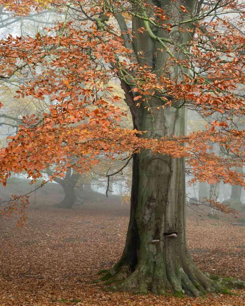 Autumn Beech tree at Fishpond Wood, Bewerley, Nidderdale