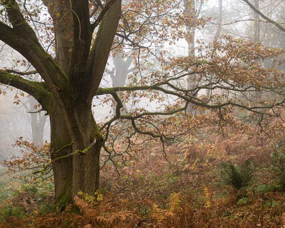 Autumnal oak in lower part of Fishpond Wood, Bewerley, Nidderdale