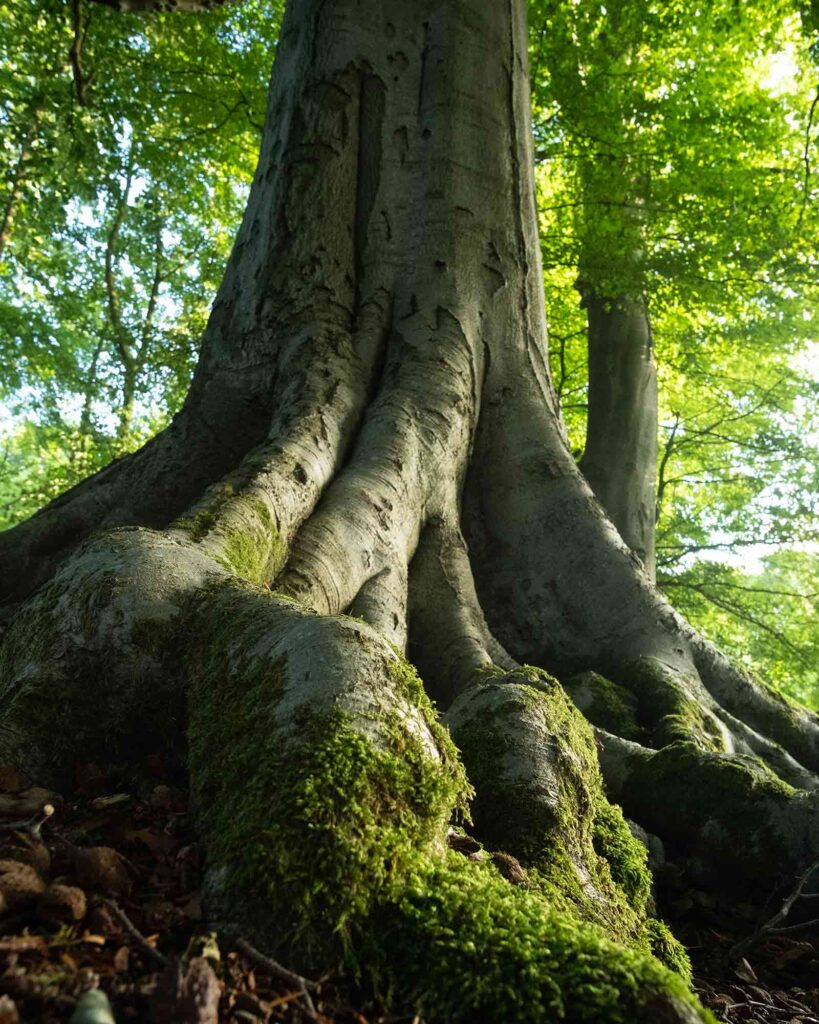 The base of one of the older beech trees in Fishpond Wood, Bewerley, Nidderdale