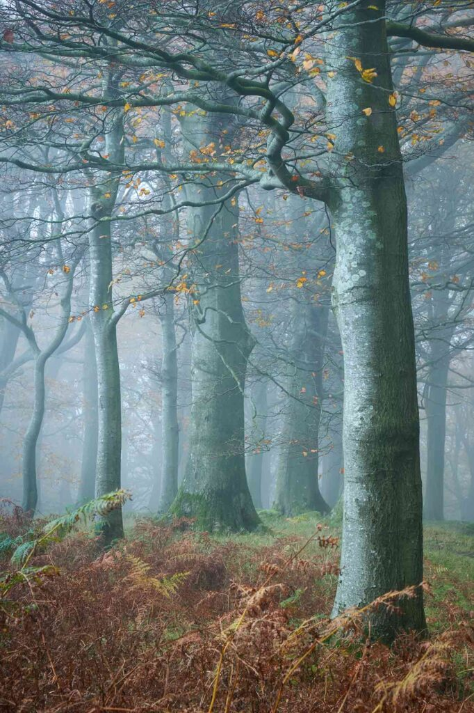 Beech trees on a misty autumn morning in Fishpond Wood, Bewerley, Nidderdale