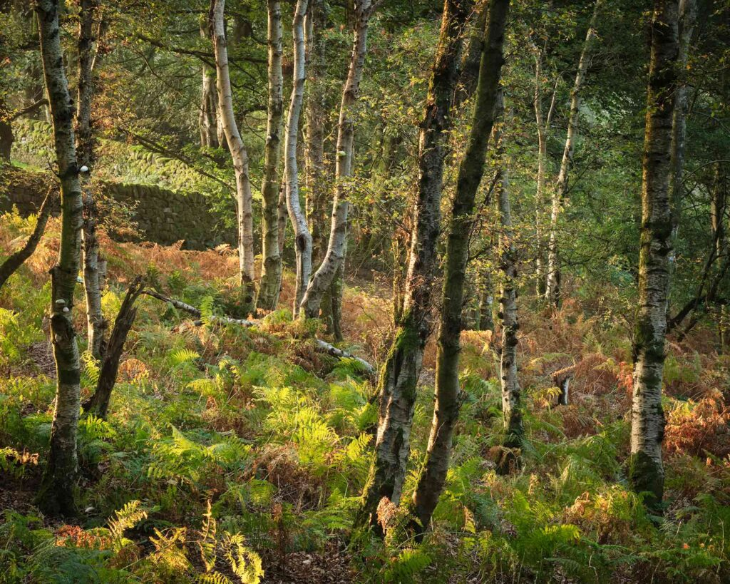 Early morning light among the birches of Fishpond Wood, Bewerley, Nidderdale