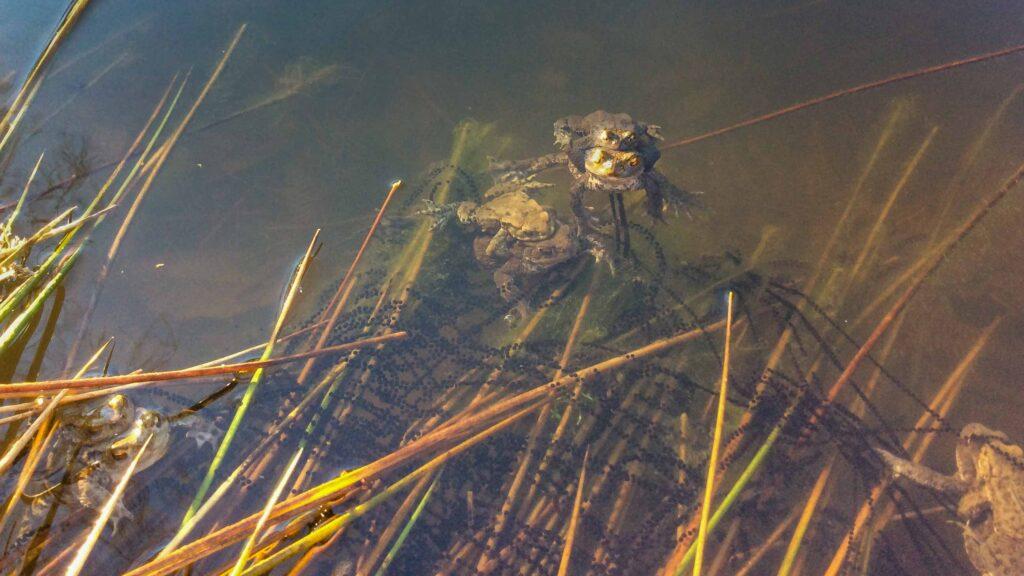 Toads spawning at Fishpond Wood, Bewerley, Nidderdale
