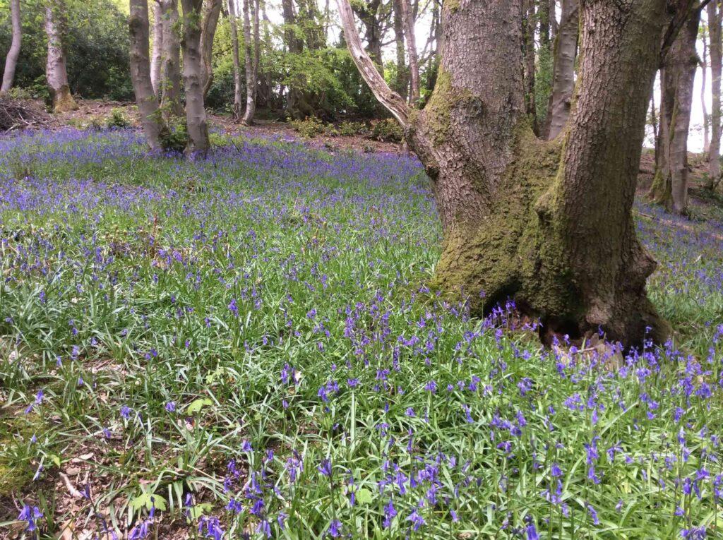 Bluebells in Fishpond Wood Bewerley Nidderdale 1 - Fishpond Wood, Bewerley, Nidderdale