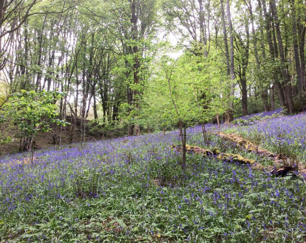 Bluebells and young trees in a clearing in Fishpond Wood