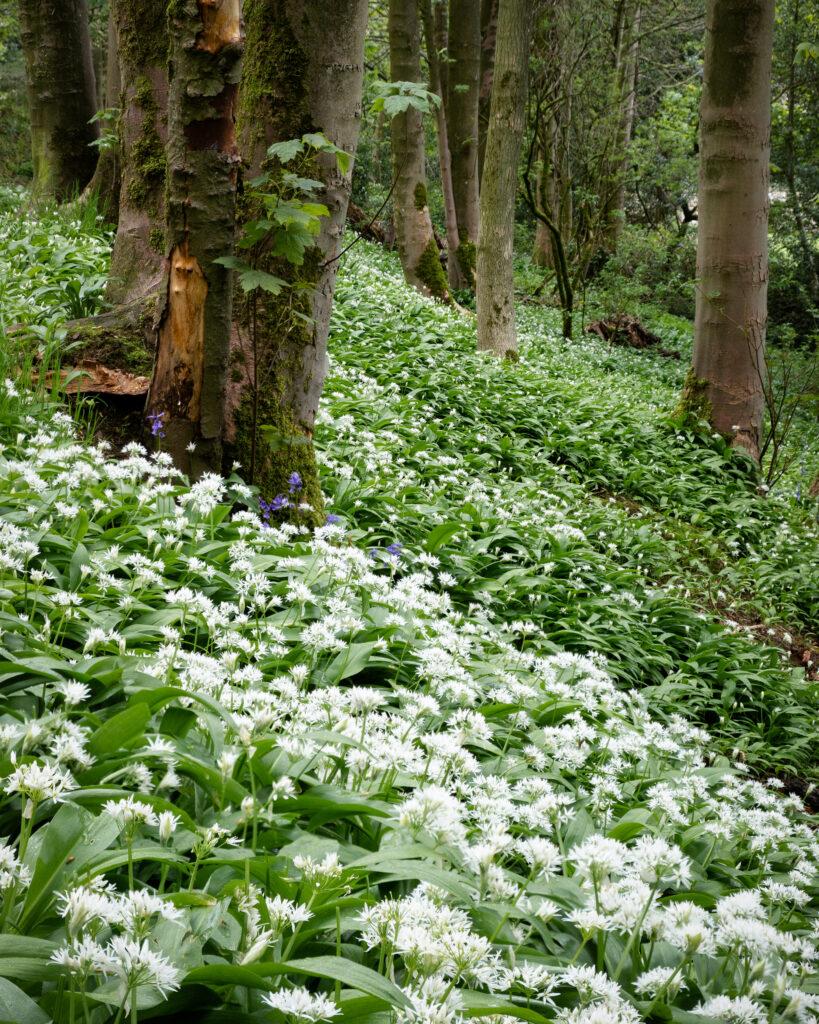 Wild Garlic in Fishpond Wood, Bewerley, Nidderdale