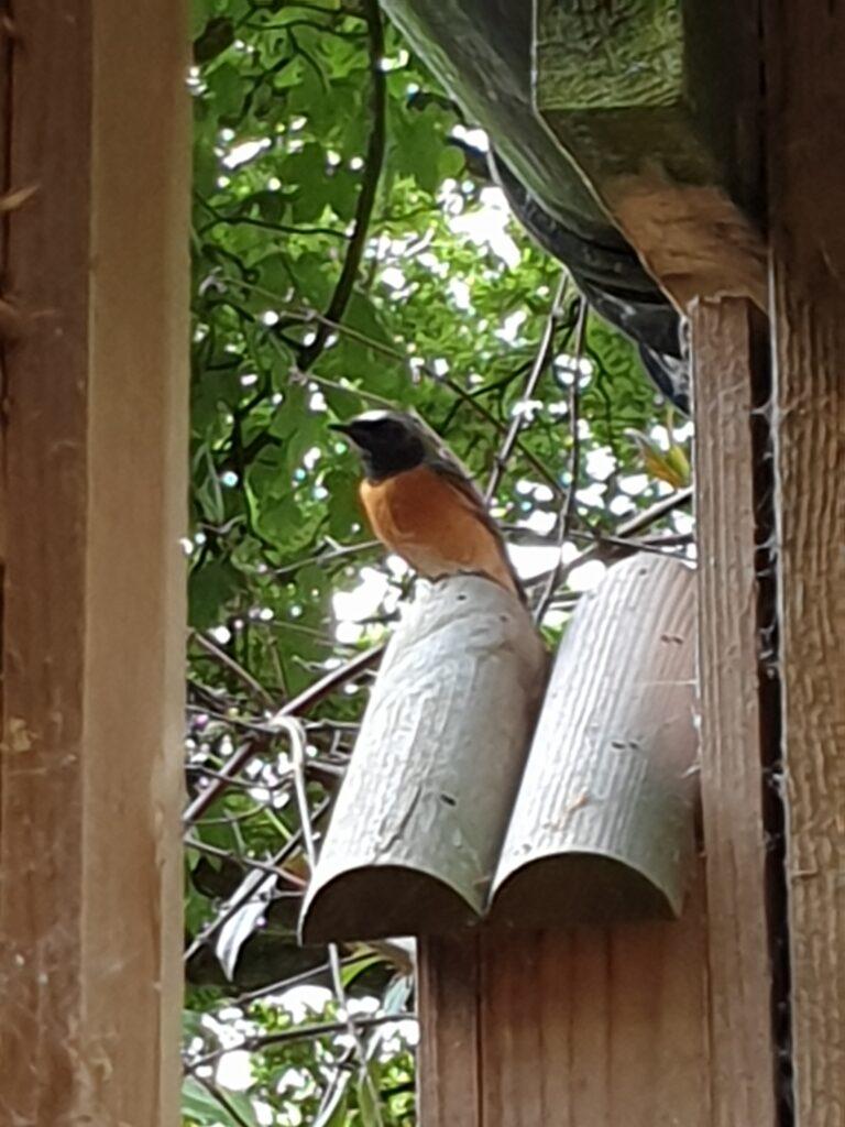 Redstart at Fishpond Wood, Bewerley, Nidderdale